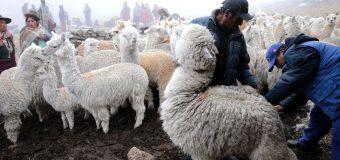 Arequipa: Protegerán de las heladas a más de 100 mil cabezas de ganado